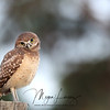Burrowing Owl tilting his head and perched on a fencepost in Florida.