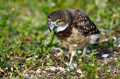 The Early Burrowing Owl Gets The Caterpillar Juvenile Burrowing Owl  Brian Piccolo Park, Cooper City, Florida © 2013