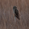 Short eared owl . Blackwater NWR