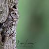 Adult Screech Owl in Florida