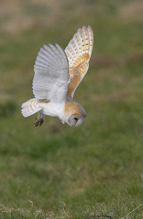 Barn owl spotted prey
