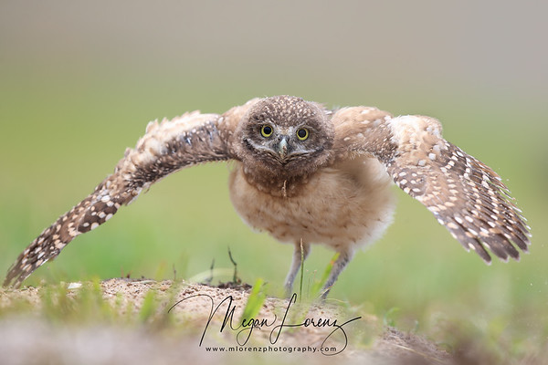 Burrowing Owlet in Cape Coral, Florida