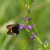 2013_hoary edge butterfly_Bell Slough NWR_Arkansas
