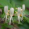2013_Bell Slough NWR_honeysuckle flower