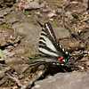 2013_zebra swallowtail_Mount Magazine SP_Arkansas