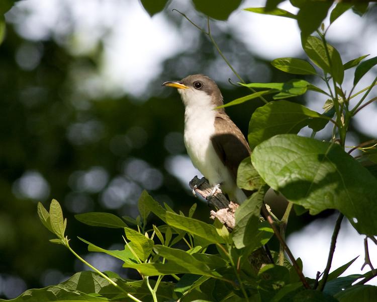 2013_yellow-billed cuckoo_Toltec Mounds_Arkansas