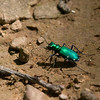 2013_six-spotted tiger beetle_Mount Magazine SP_Arkansas