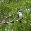 2013_eastern kingbird_Toltec Mounds_Arkansas