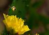 cactus flower harvest