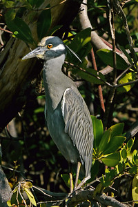 Yellow-crowned Night-Heron, Ocean Ridge Natural Area