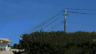 Only some of the European Starlings, Boynton Inlet (These wires were full end-to-end with Starlings a short time prior to this photo)