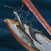 Close-up of a Brown Pelican's catch