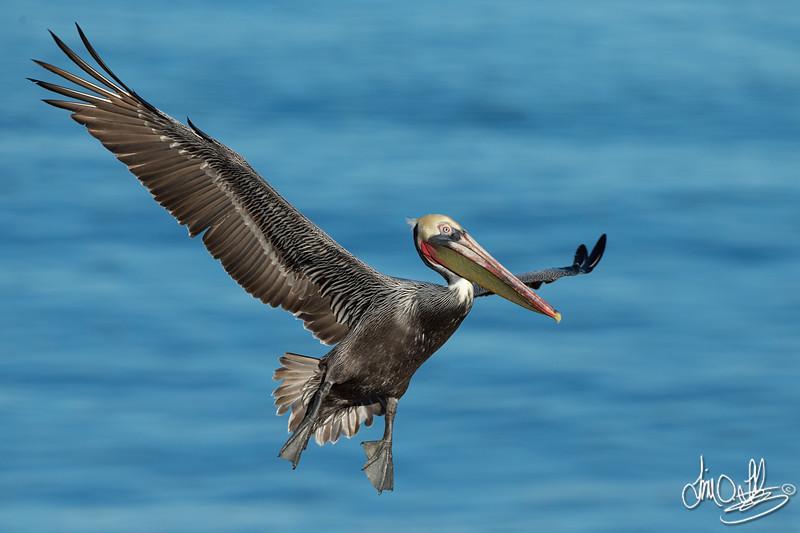 California Brown Pelican and Breeding Plumage