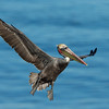 California Brown Pelican and Breeding Plumage