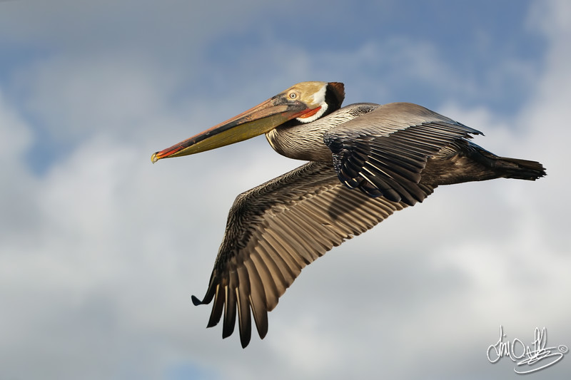 California Brown Pelican In-Flight