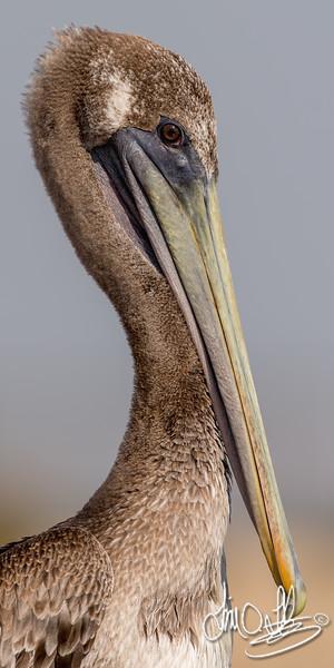 California Brown Pelican (juvenile)