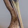 California Brown Pelican (juvenile)