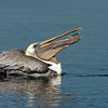 California Brown Pelican with Catch