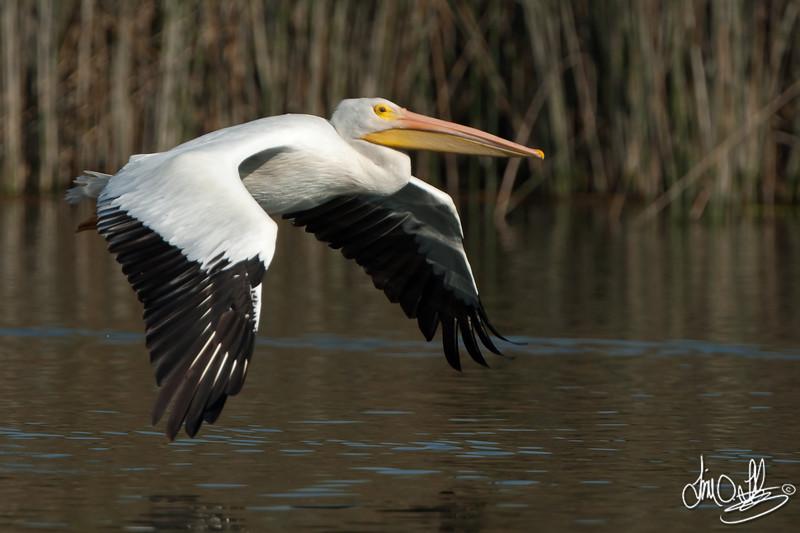 American White Pelican In-Flight