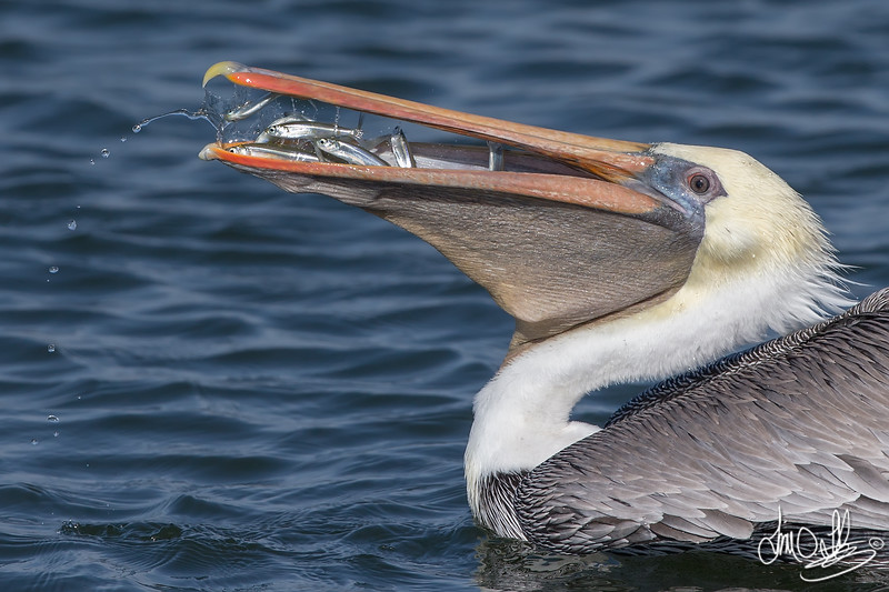 California Brown Pelican with a mouthful