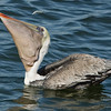 California Brown Pelican Eyeing a Fish That Got Away