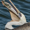 California Brown Pelican with Its Catch