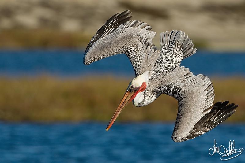 California Brown Pelican in a Dive