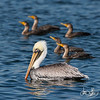 Brown Pelican with Double-crested Cormorants