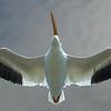 American White Pelican Soaring Overhead