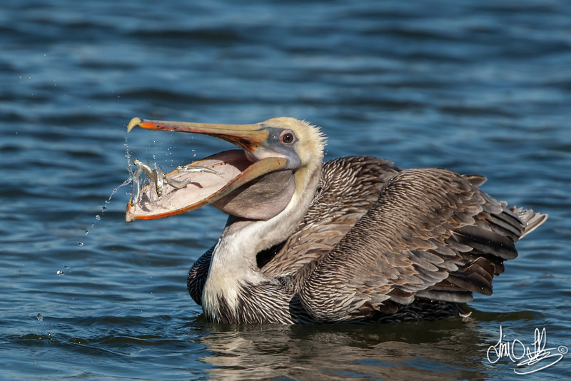 California Brown Pelican with a fresh catch