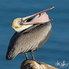 California Brown Pelican Cleaning out It's Pouch