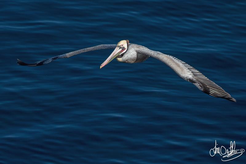 California Brown Pelican in Breeding Plumage In-Flight