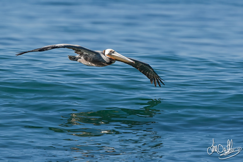 California Brown Pelican Gliding over the Water
