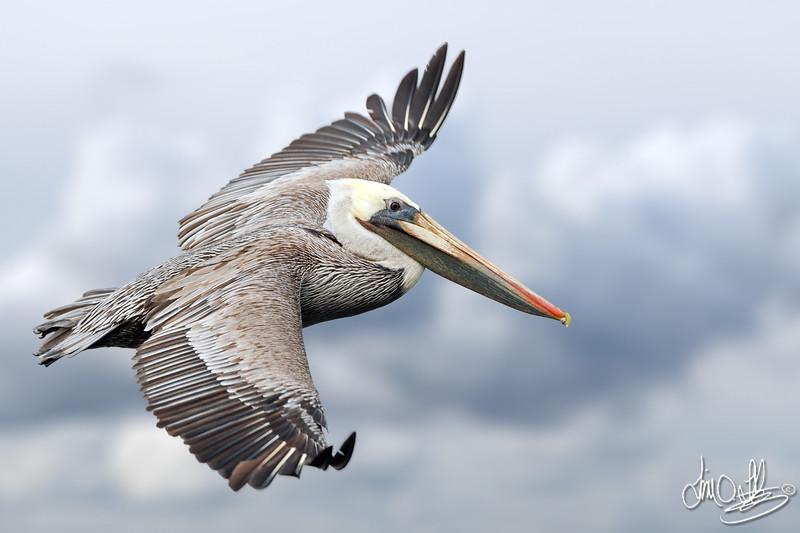 California Brown Pelican In-Flight