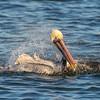Brown Pelican bathing