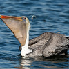 California Brown Pelican Eyeing It's Escaped Catch