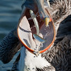 California Brown Pelican Snack