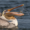 Brown Pelican with its catch, I really like the play of water in this shot. Bolsa Chica Wetlands • Huntington Beach, CA
