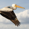 American White Pelican In-Flight
