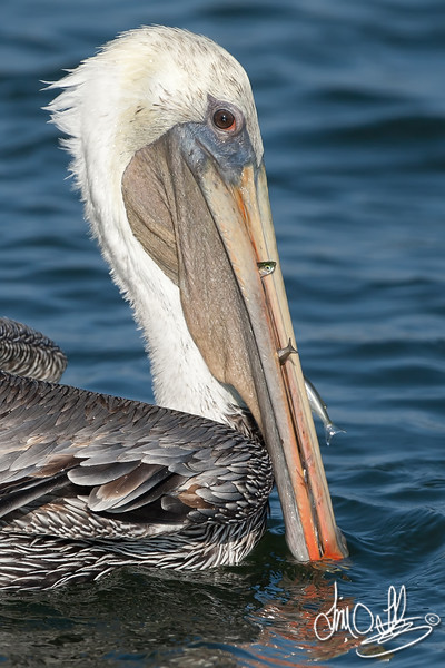 California Brown Pelican with A Few Fish