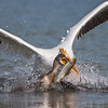 Behavioral shot of a American White Pelican trying to steal a fish from a Double-crested Cormorant