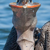 A Unique Perspective of a California Brown Pelican