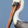 Brown Pelican Portrait