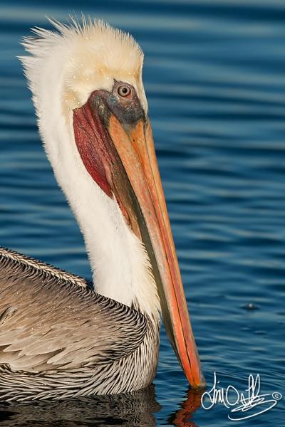 California Brown Pelican Portrait