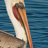 California Brown Pelican Portrait