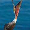 California Brown Pelican stretch