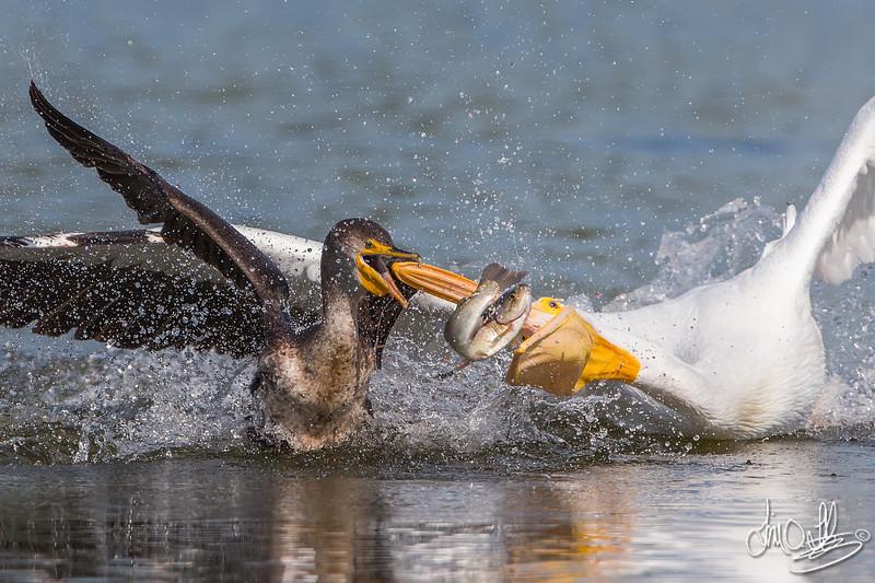 Behavioral shot of a American White Pelican