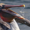 Brown Pelican with catch Bolsa Chica Wetlands • Huntington Beach, CA
