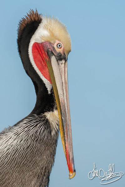 California Brown Pelican in Breeding Plumage