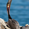California Brown Pelican Stretching